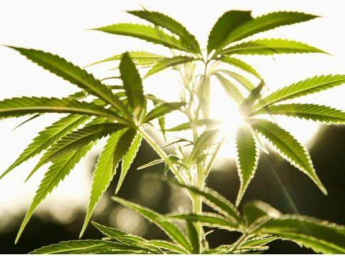 trava marihuana štetnost